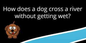 How does a dog cross a river without getting wet riddle